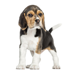 Front view of a Beagle puppy standing, looking at the camera