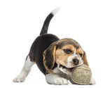 Front view of a Beagle puppy playing with a tennis ball - 57735096