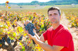Winemaker harvesting Bobal grapes in mediterranean