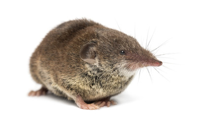 White-toothed shrew, isolated on white