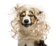 Close-up of a Border collie with a glamorous blond wig, isolated