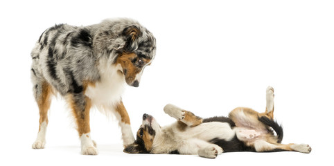 Border collie and Australian Shepherd playing together, isolated