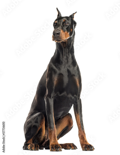 Doberman Pinscher sitting, looking away, isolated on white