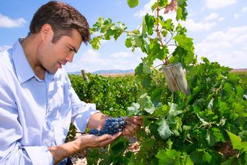 Winemaker oenologist checking Tempranillo wine grapes