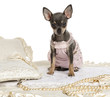 Dressed-up Chihuahua sitting on a carpet, isolated on white