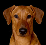 Purebred red German Pinscher