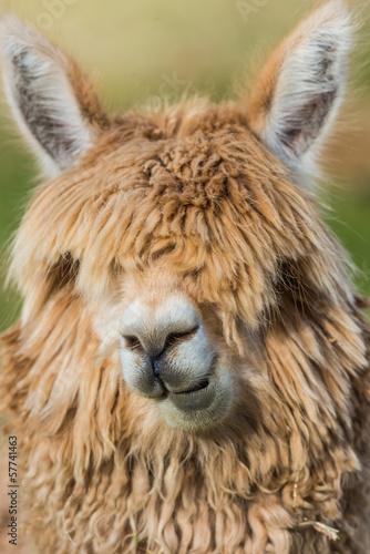 alpaca portrait peruvian Andes  Cuzco Peru
