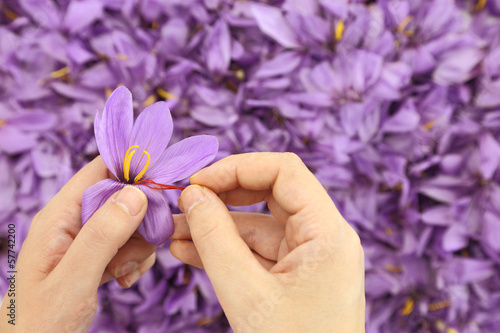 Foto op Plexiglas Krokussen Womans hands separates saffron threads from the rest flower