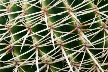 Detail of cactus thorns