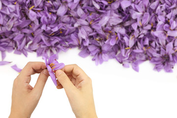Womans hands separates saffron threads from the rest flower