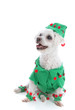 Pet dog wearing an elf or jester costume