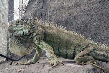 Green iguana on a rock