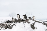 Families of Gentoo Penguins near Vernadsky Station, Antarctica