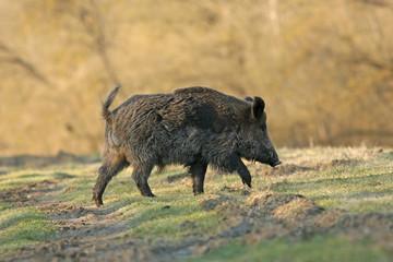 Wild boar walking in forest
