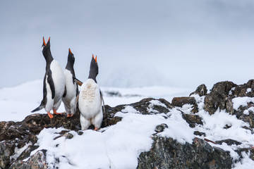Gentoo Penguins near Vernadsky Station, Antarctica