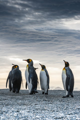 Proud King Penguins at St. Andrews Bay, South Georgia