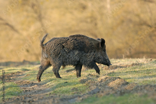Wild boar walking in forest