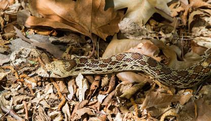Gopher Snake portrait