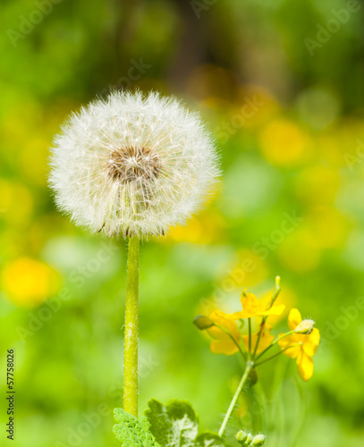 Poster Paardebloem spring bright meadow with dandelion