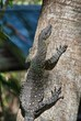 Lace Goanna (Varanus varius) or lace monitor - Lizard in the Whi