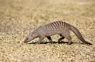 View of wild mongoose