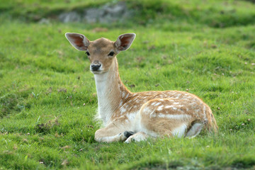 Fawn is lying on grass