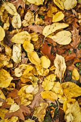 Yellow autumn leaf 3