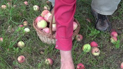 gardener harvesting fresh ripe apples in wicker basket