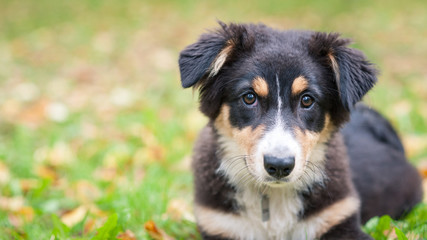 Australian Shepherd dog portrait outdoors.