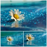 beautiful white daisy with blue drops