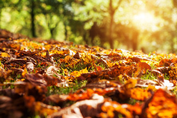autumn leaves in sunlight
