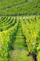 Dans les vignes de l'Auxerrois (Bourgogne France)