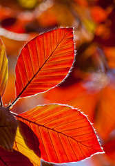 red leaves of plants illuminated by bright sunshine, autumn day