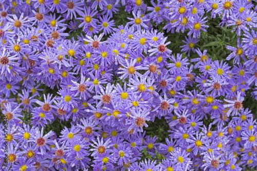 Fridge magnet Blühende Astern mit kleinen Wassertropfen