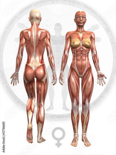 GamesAgeddon - Anatomie Muskel Frau - Lizenzfreie Fotos, Vektoren ...