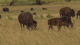 Baby Bison walking with a herd of other Bison