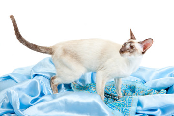 Siamese Cat on a blue silk cloth