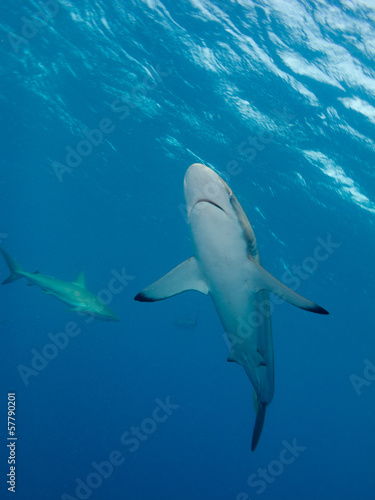 male of Silky shark (Carcharhinus falciformis)