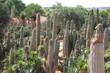 Cacti at Bontanicactus,Ses Selines, Mallorca, Spain