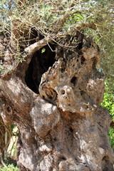 Olive tree trunk