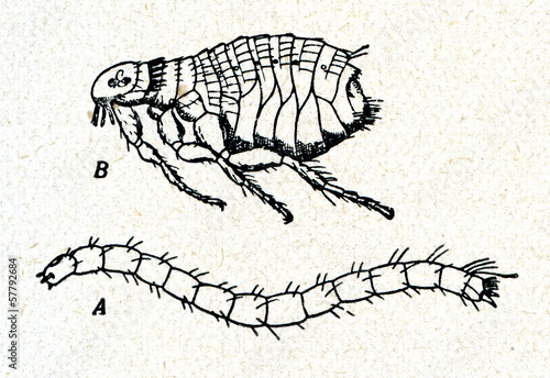 Dog flea (Ctenocephalides canis)