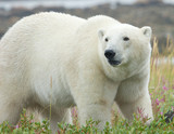Polar Bear standing in the grass 3