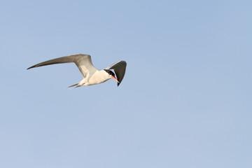 adult common tern in flight