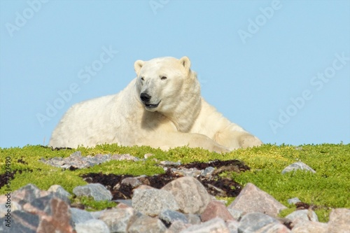 Polar Bear on a grassy knoll 5