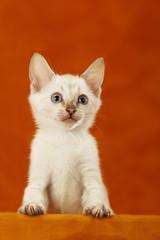 Snow Bengal Kätzchen - bengal kitten