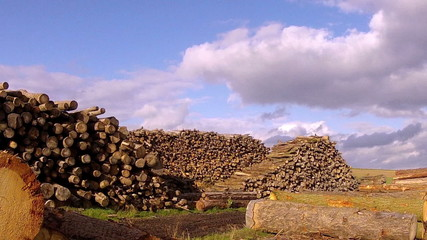 Stack fresh cut birch and pine logs.