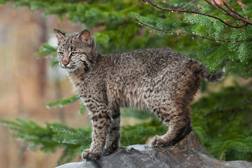 Young Bobcat ( (Lynx rufus) Stands Defiant