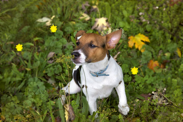 Puppy Jack Russel sniffs flower