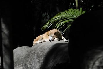 wild australian dingo sunbaking, fraser island, queensland, aust