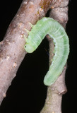 An unidentified butterfly (Lepidopterae sp.) larva